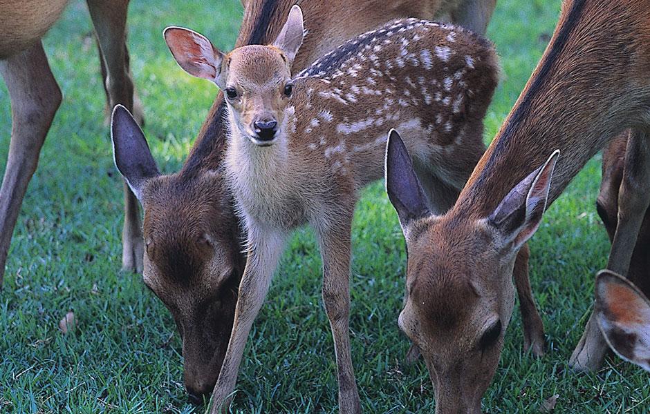 【おでかけ・観光情報 奈良】今しか見れない可愛い小鹿の公開♪